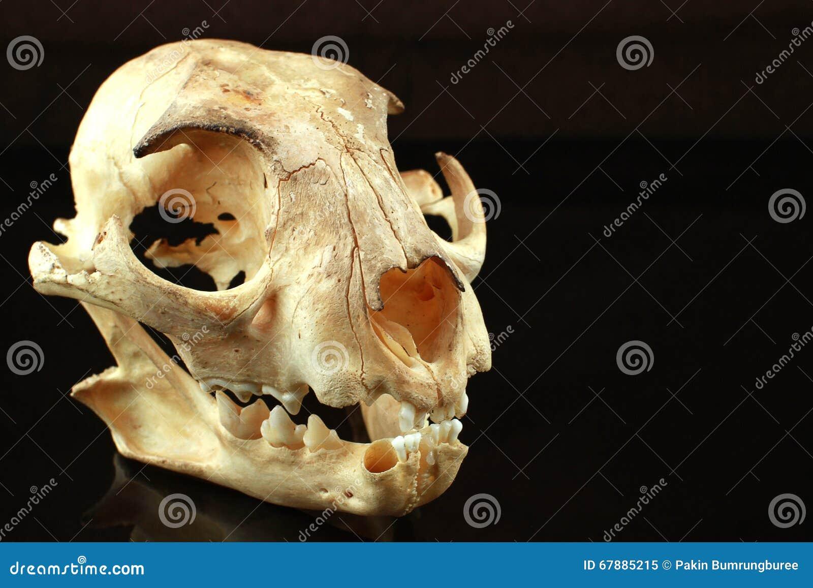 亚洲人goldden在黑背景的猫头骨