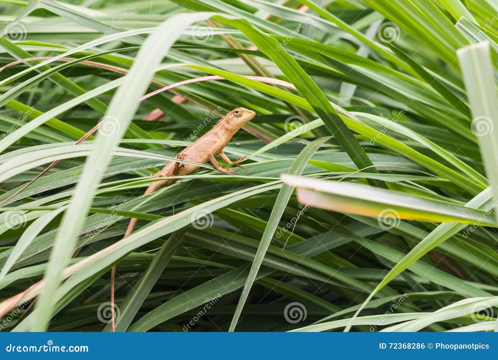 亚洲小的蜥蜴