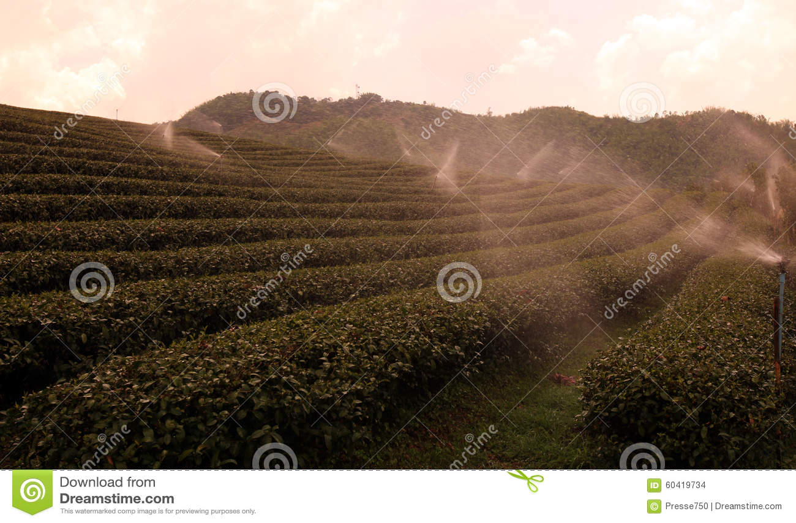 亚洲泰国清莱美斯乐茶园