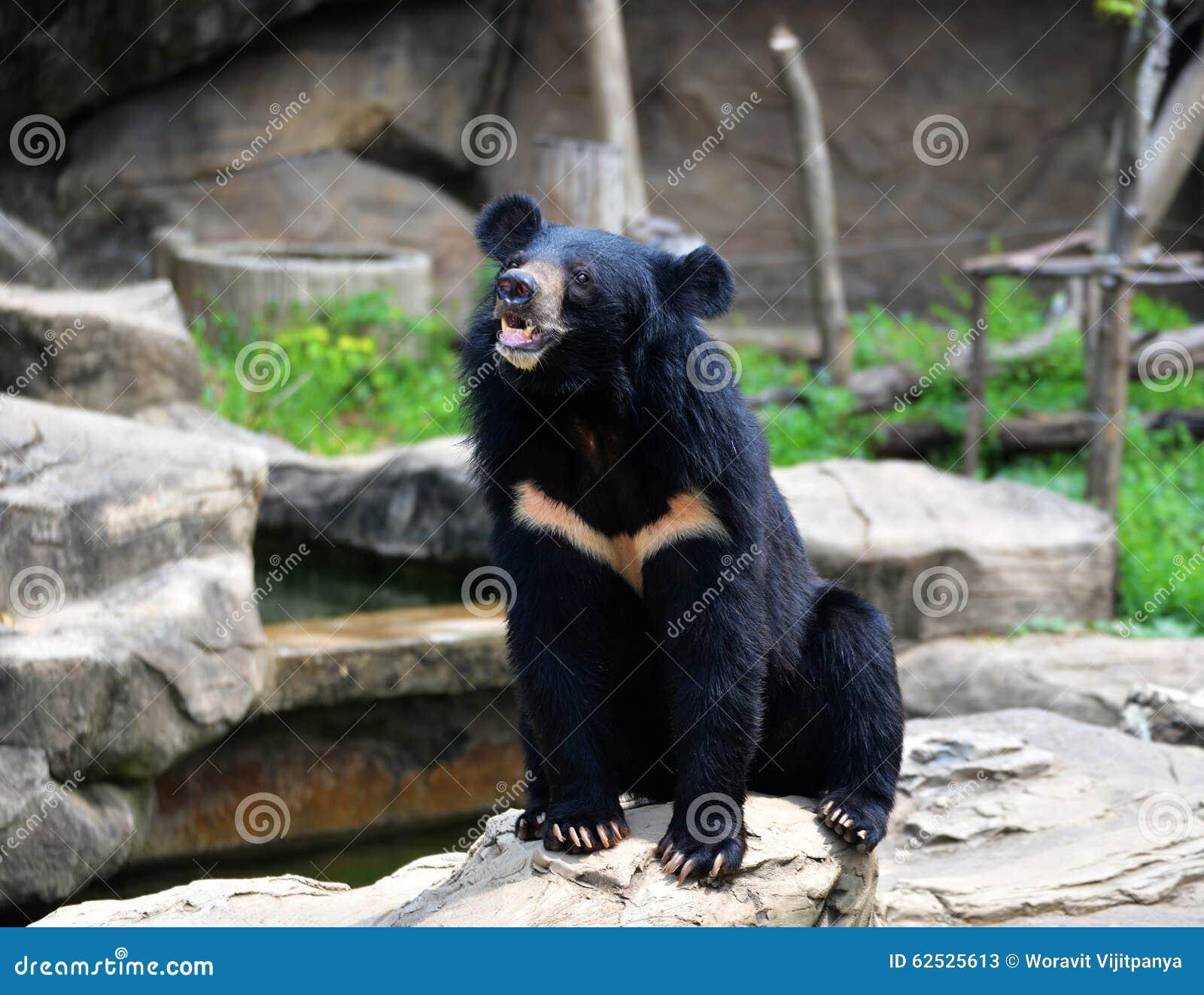 亚洲熊黑色