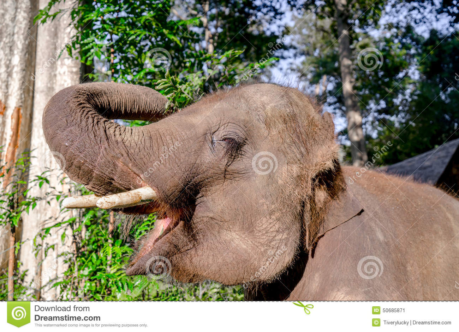 Download 亚洲elephent在泰国 库存图片. 图片 包括有 自然, 聚会所, 皮肤, 重婚, beauvoir - 50685871