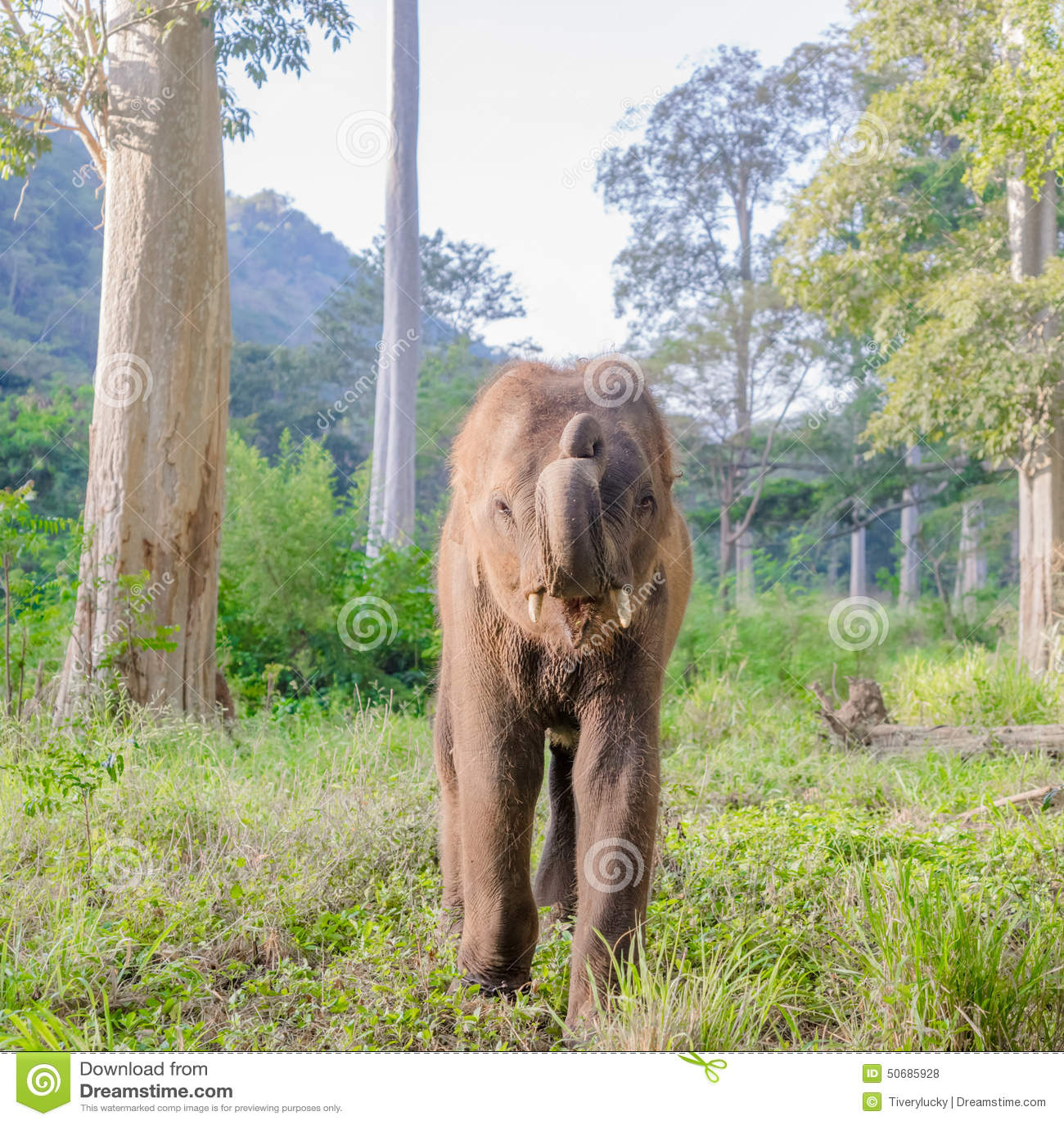 Download 亚洲elephent在泰国 库存照片. 图片 包括有 beauvoir, 重婚, 少许, 自然, 逗人喜爱 - 50685928