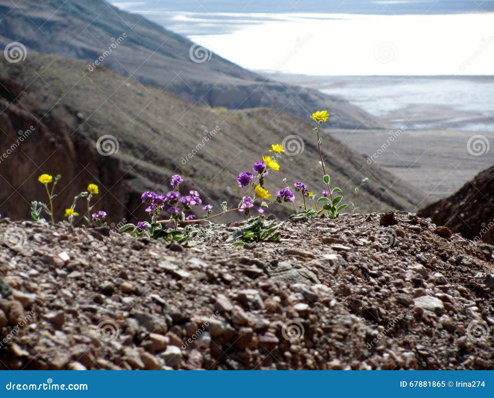 死亡谷,加利福尼亚花