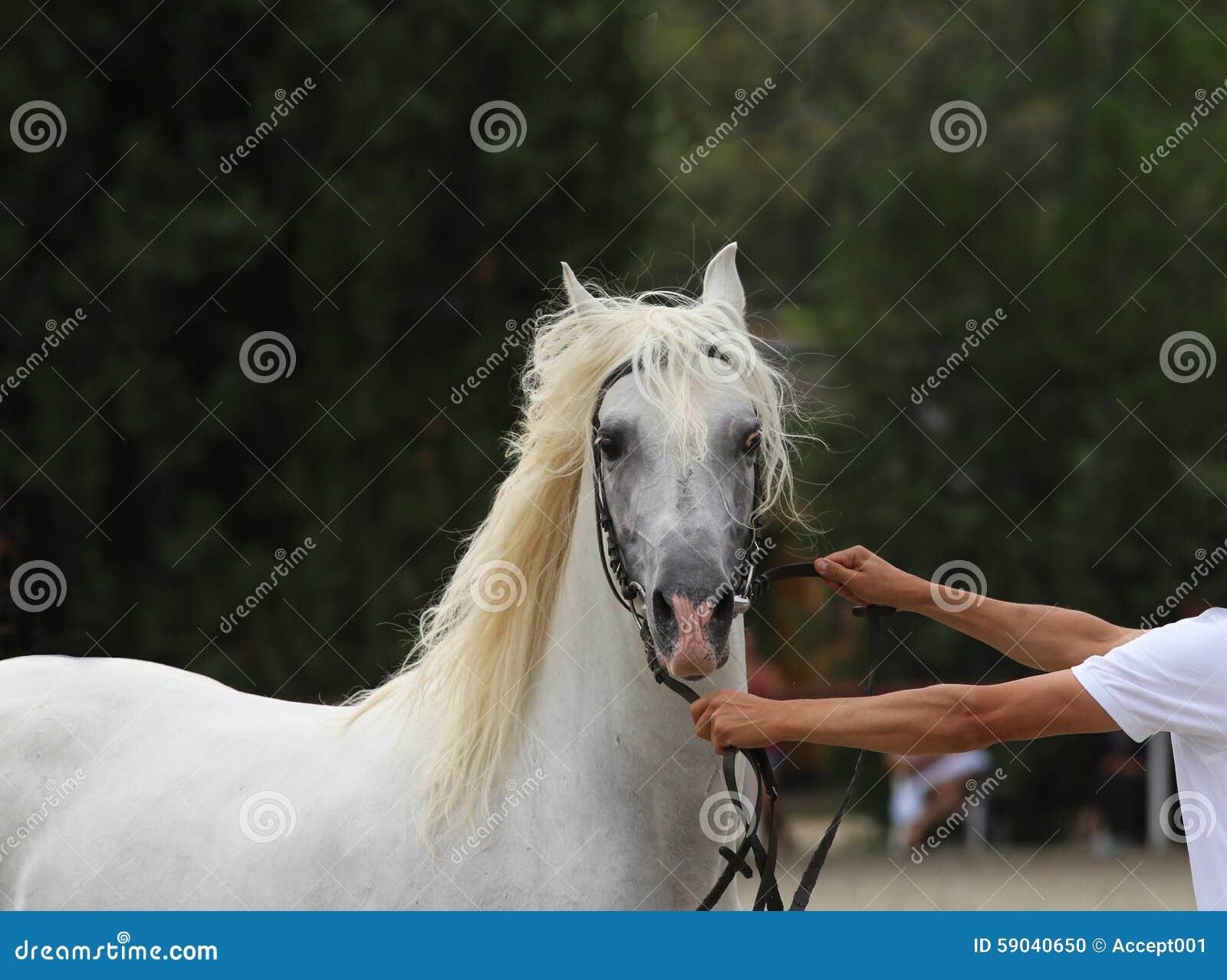 交配动物者举行与辔的一匹马在马展示