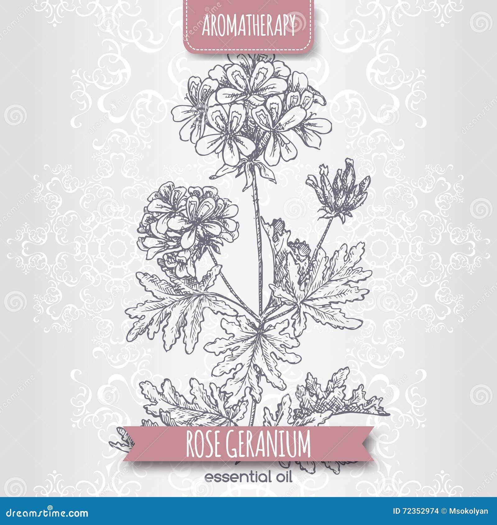 亦称天竺葵graveolens在典雅的鞋带背景的玫瑰香叶剪影