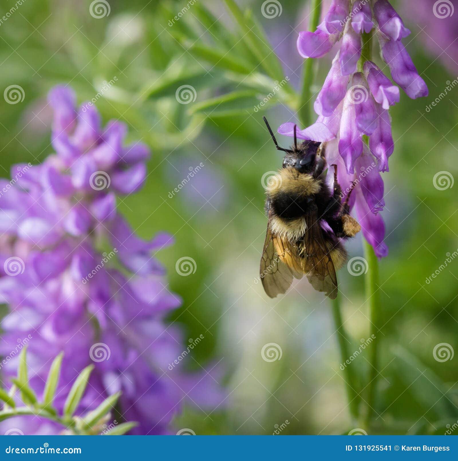 享用羽扇豆的蜂