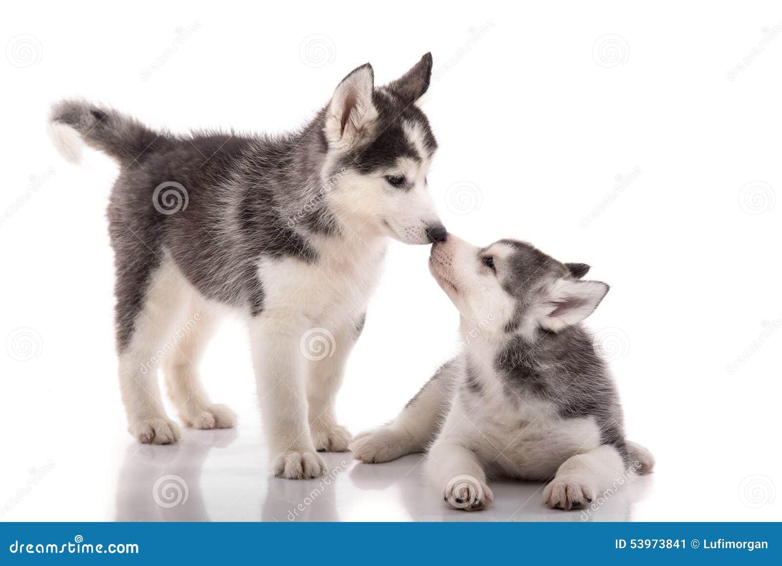 亲吻在白色背景的两只西伯利亚爱斯基摩人小狗