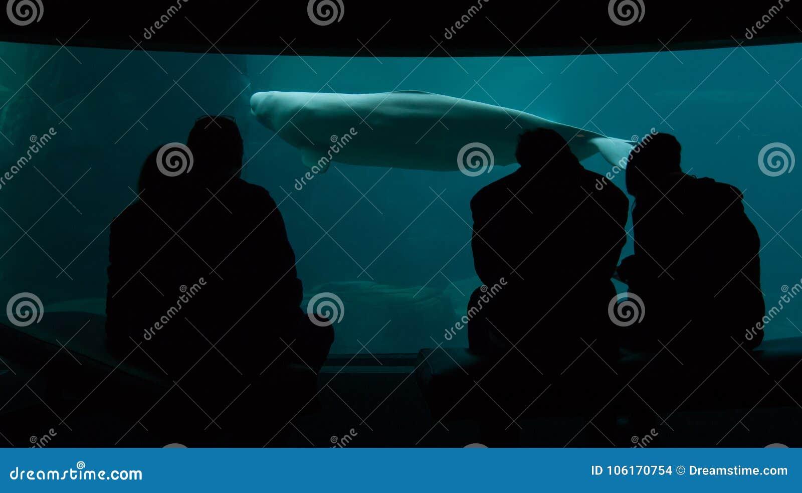 人们在与白海豚鲸鱼的一个水族馆窗口前面坐