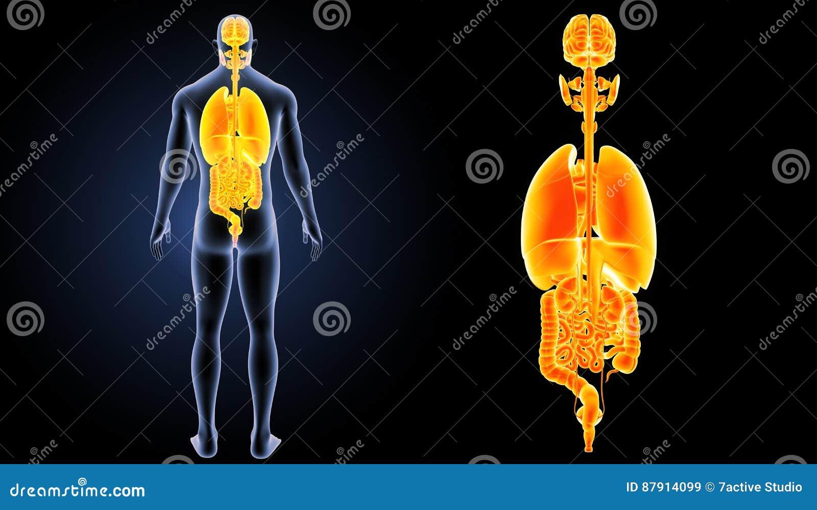 人体器官徒升有身体后部视图