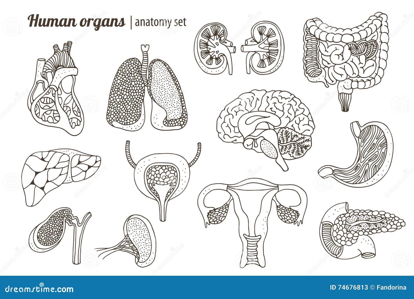人体器官解剖学集合