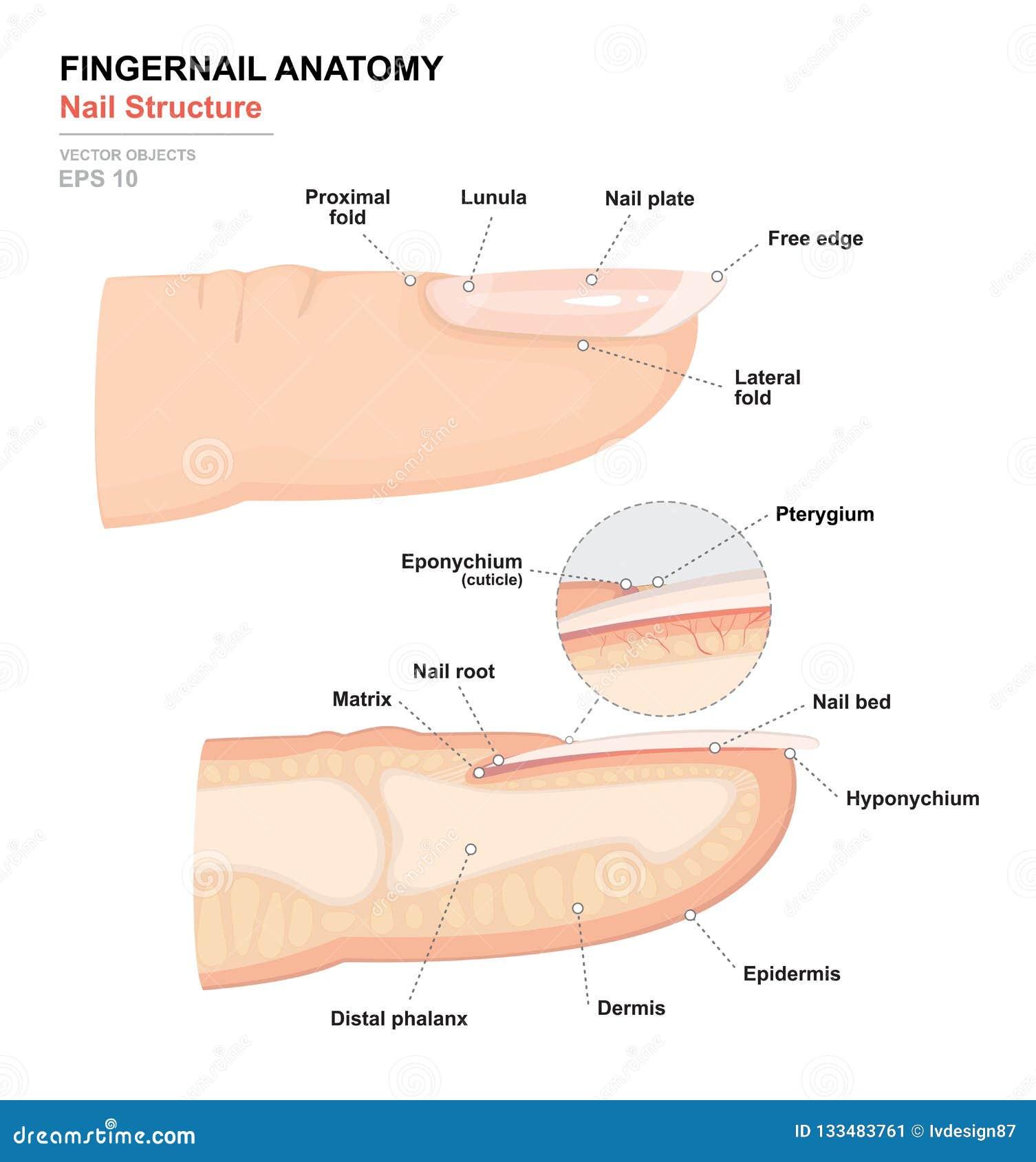 人体科学  解剖训练海报 指甲盖解剖学 人的钉子结构  手指的横断面