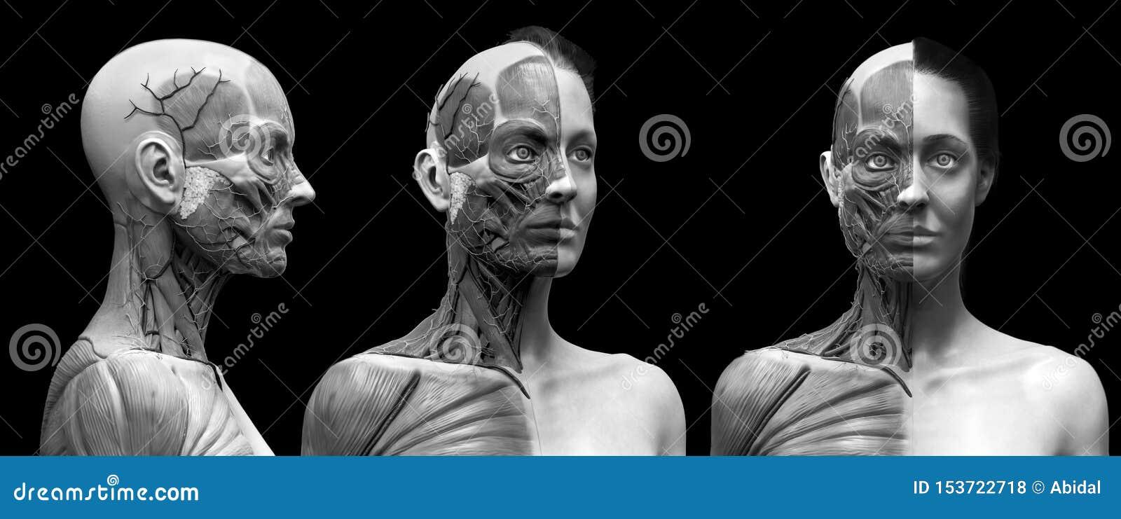 人体解剖学女性的肌肉结构