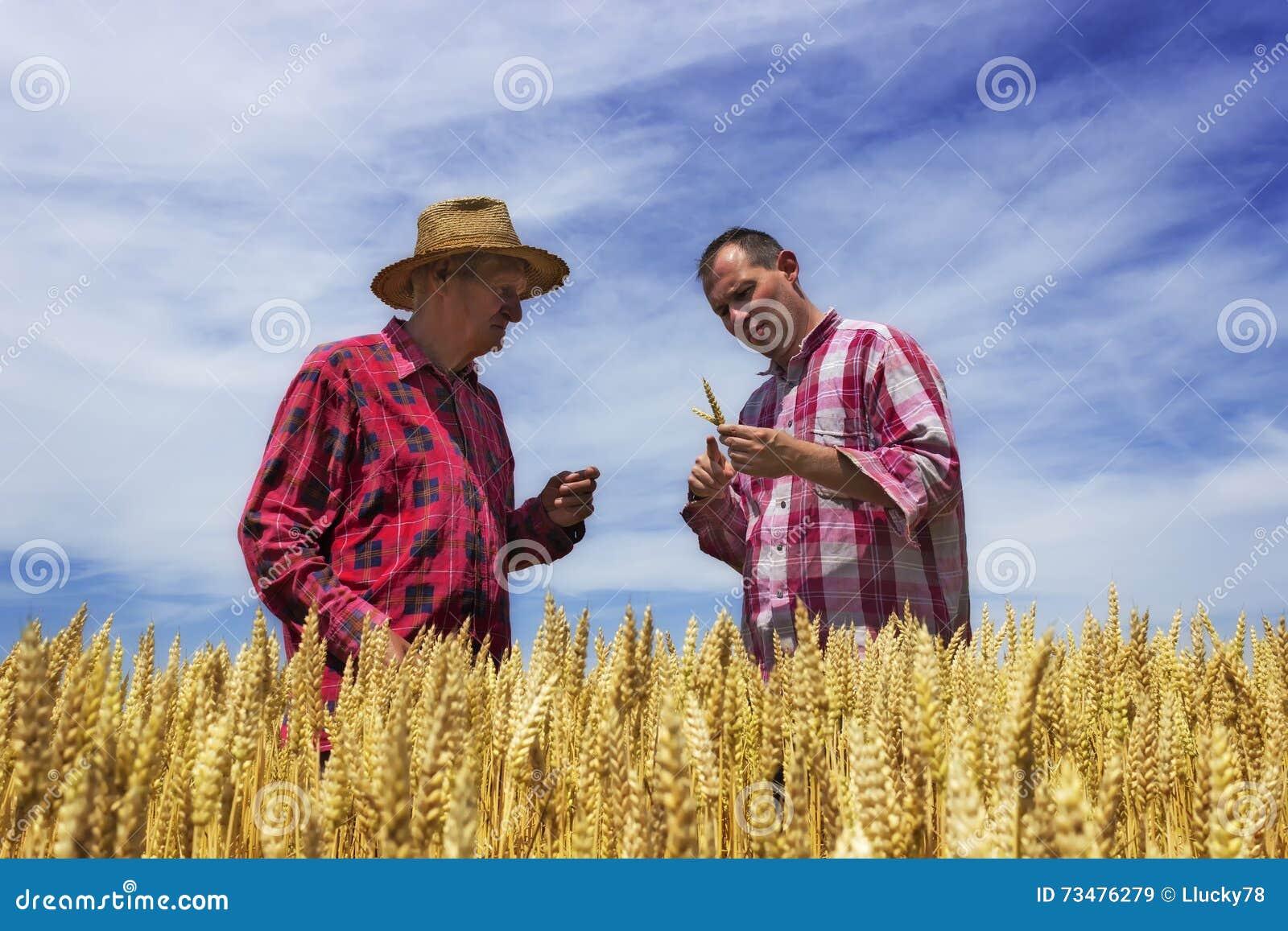 人和农夫检查麦子 麦子准备好收获
