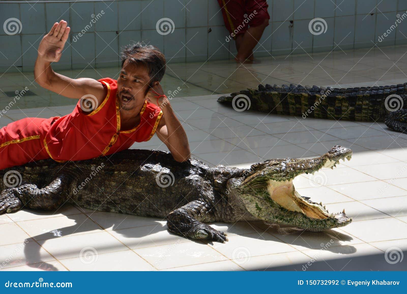 人在鳄鱼说谎 在普吉岛动物园,泰国的鳄鱼展示- 2015年12月:在鳄鱼农场的鳄鱼展示