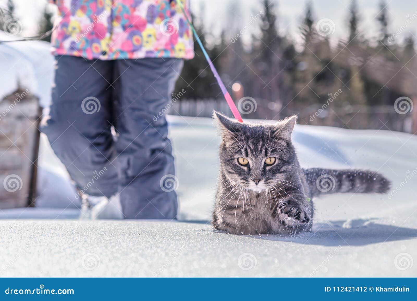 人带领在皮带的一只猫