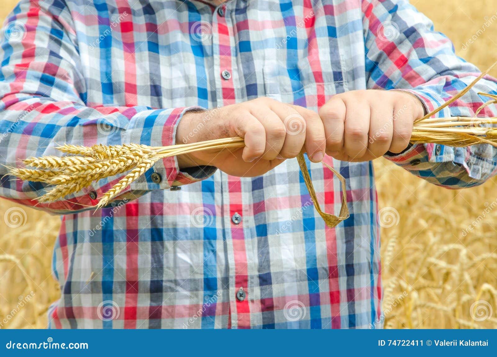 人拿着成熟麦子 人手用麦子 人毁坏成熟麦子