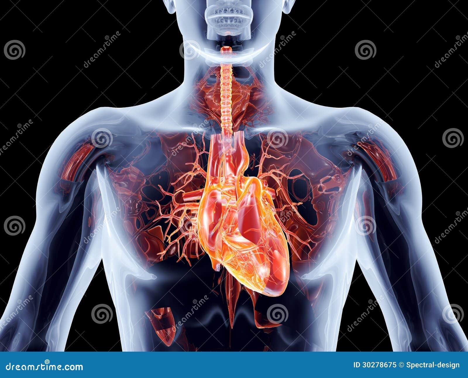 内脏-心脏