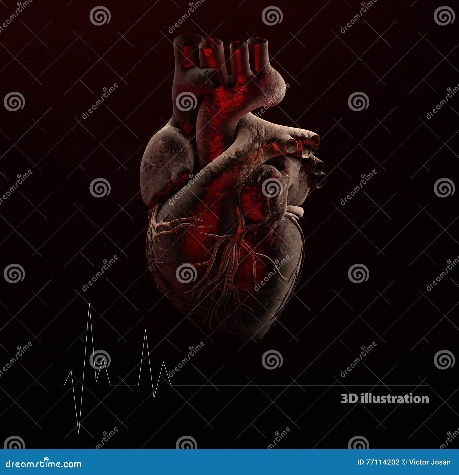 人的心脏解剖学