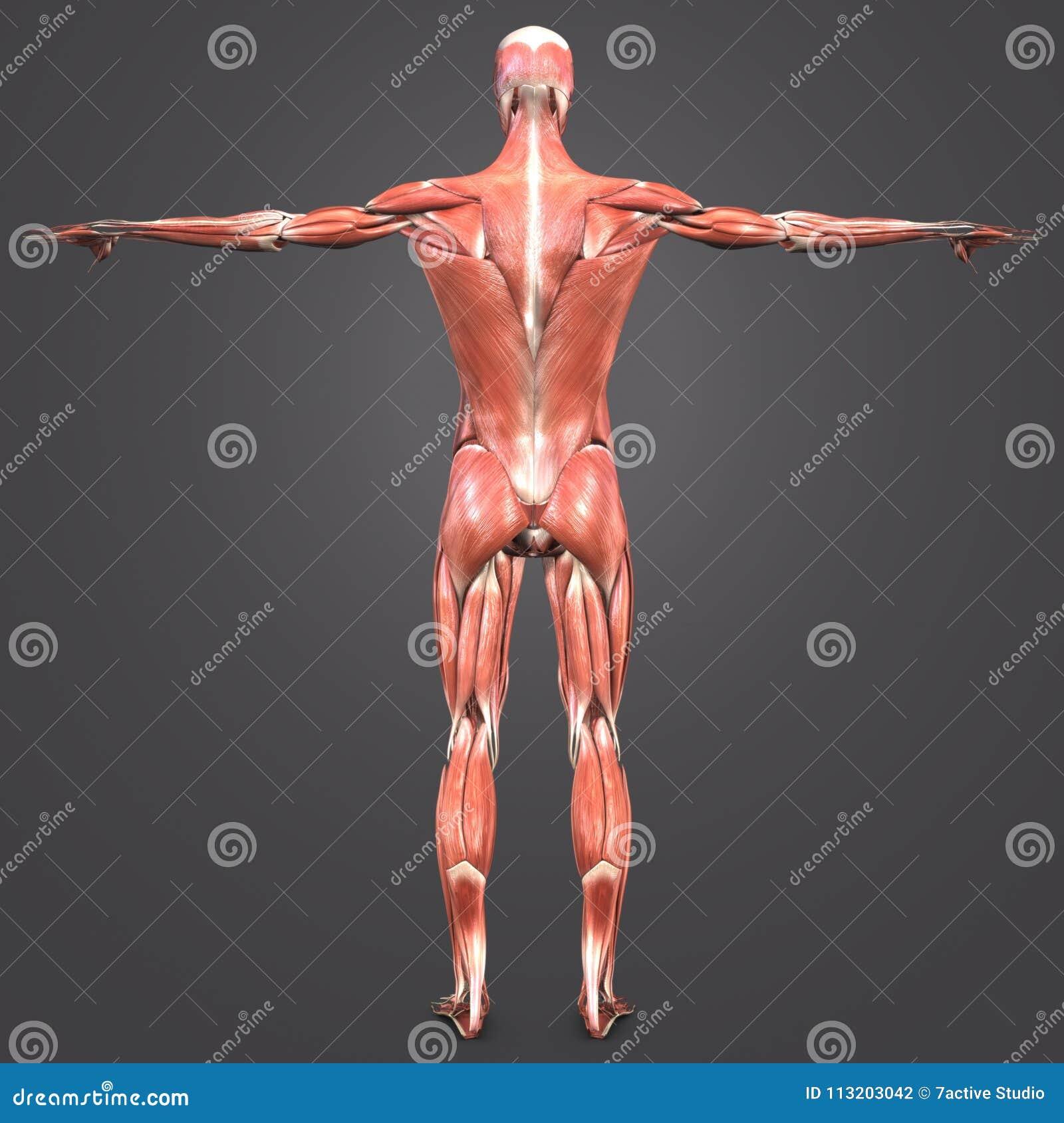 人的肌肉解剖学后部视图