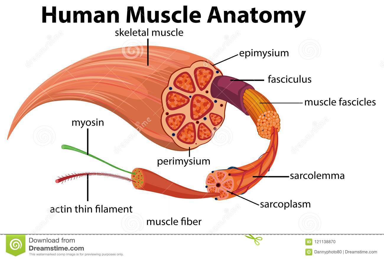 人的肌肉解剖学图