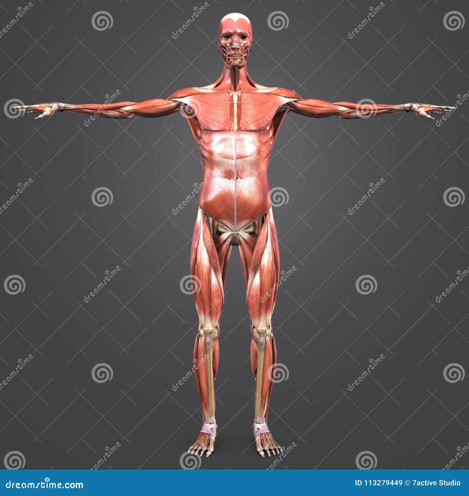 人的肌肉解剖学有最基本的先前看法