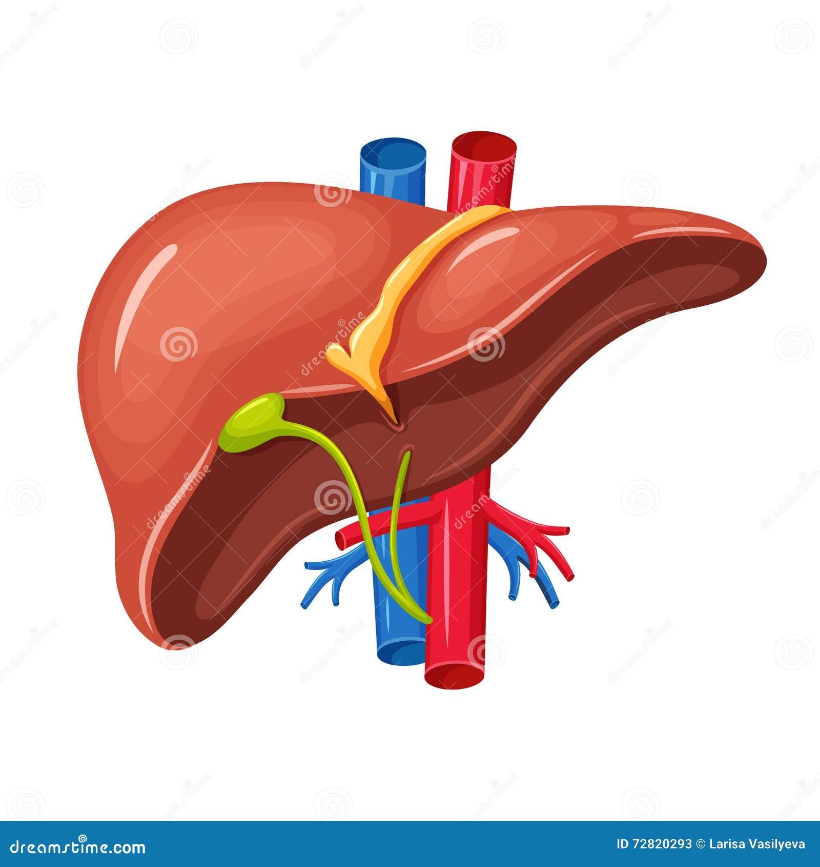 人的肝脏解剖学