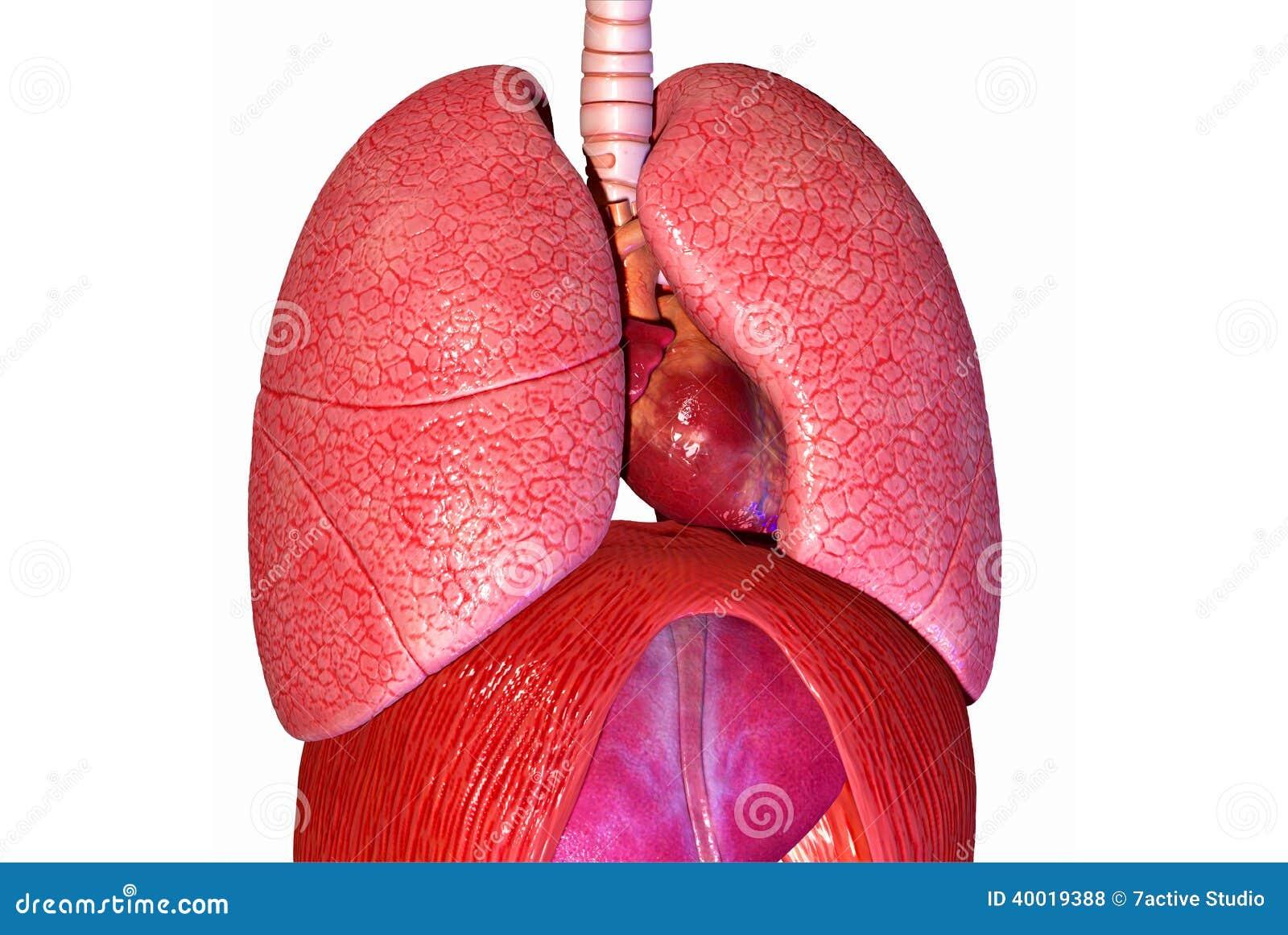 肺����y�9����_人的肺