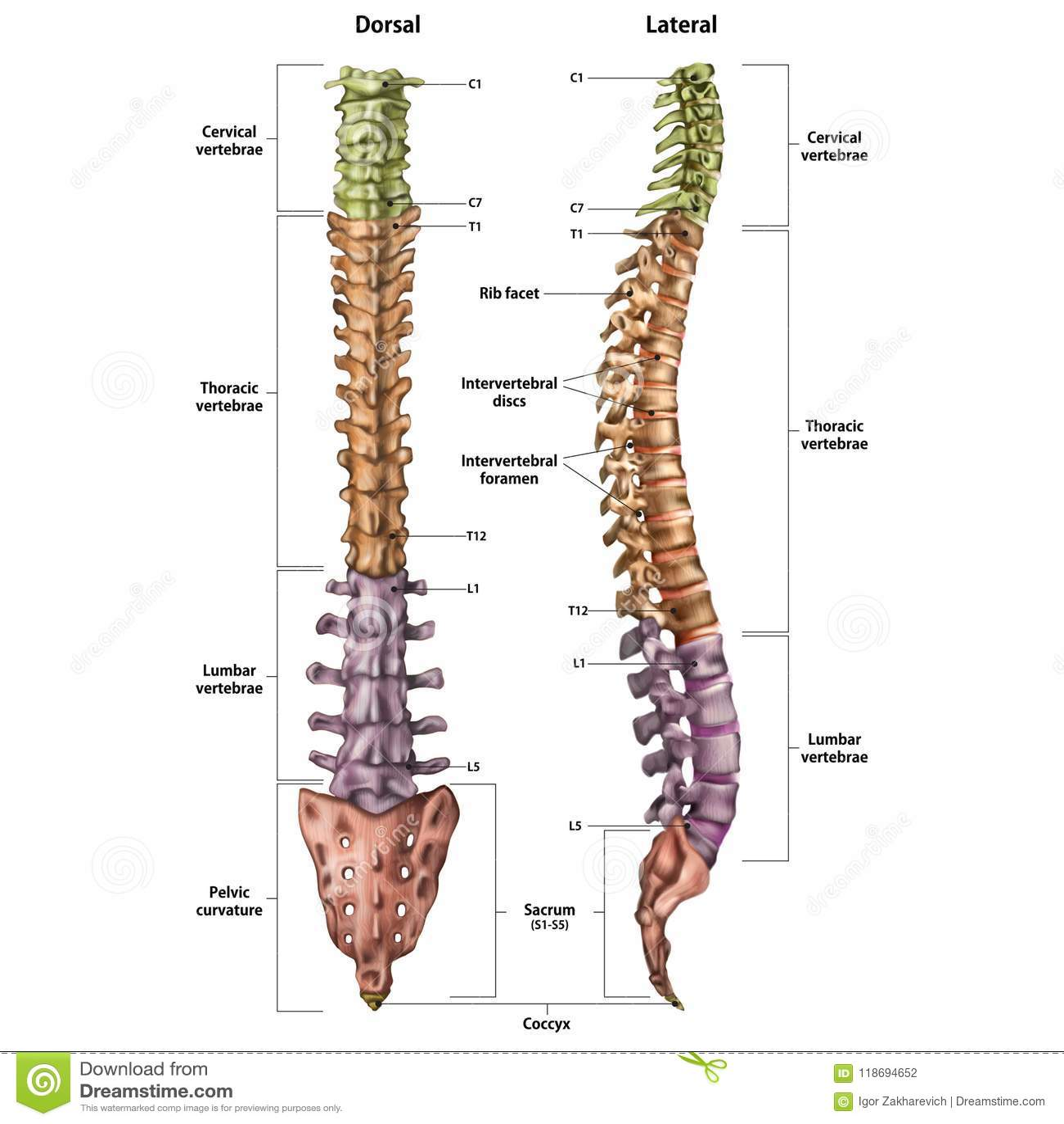 人的脊椎的例证与所有站点的名字和描述的