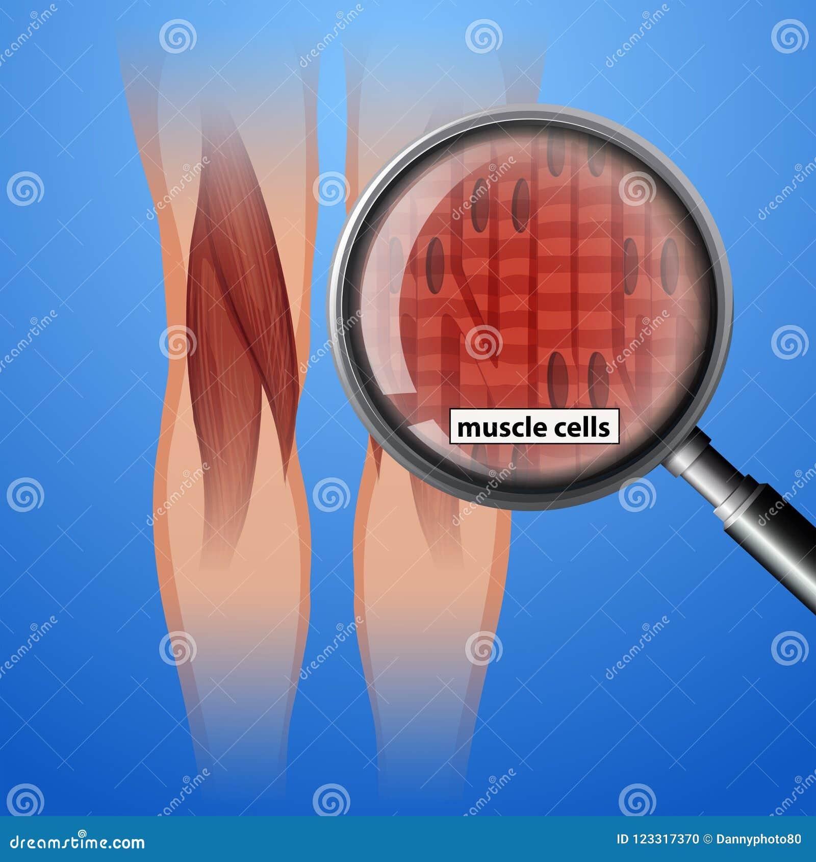 人的解剖学肌细胞