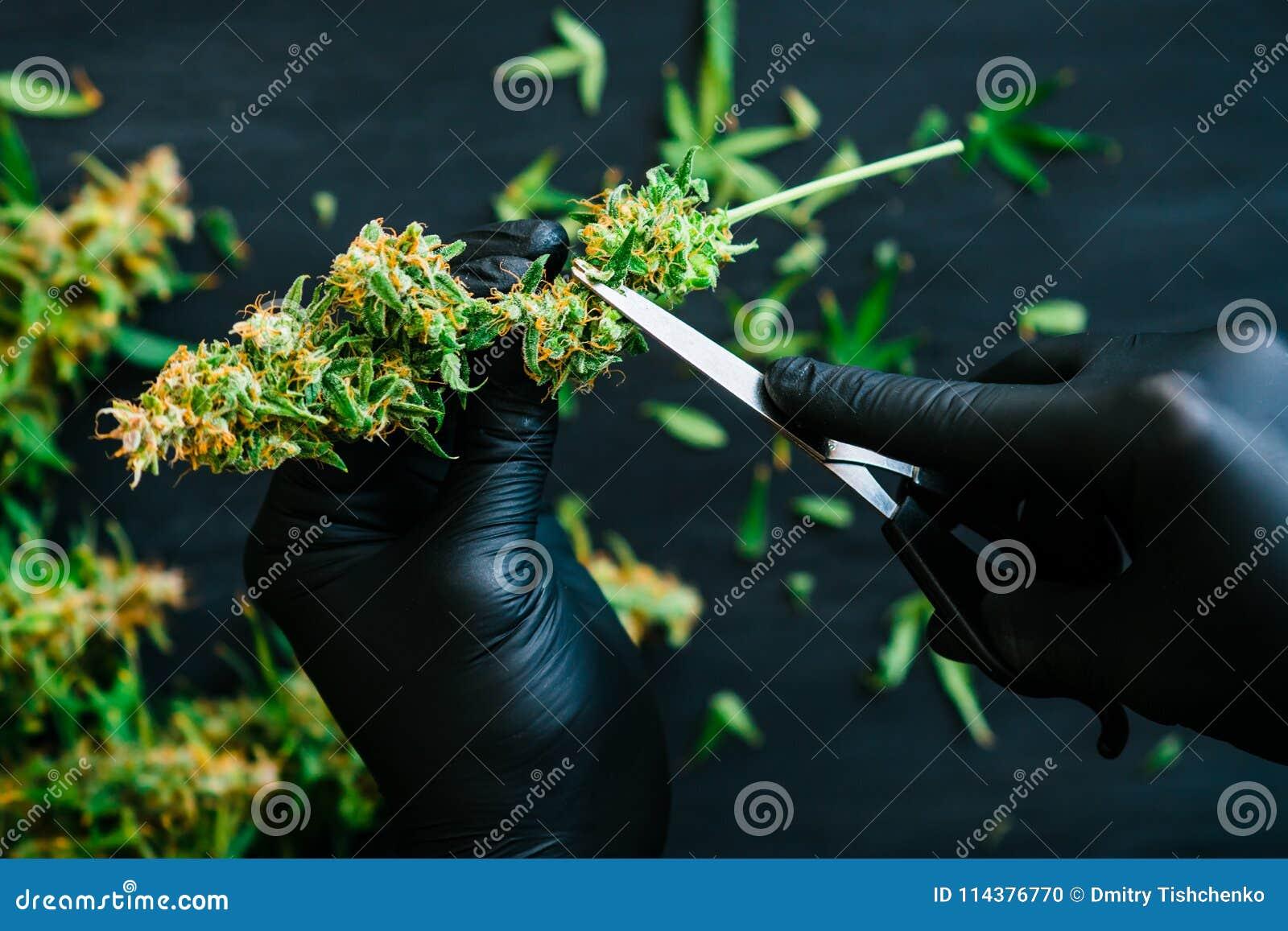 人种植者整理新鲜的收获大麻芽 大麻