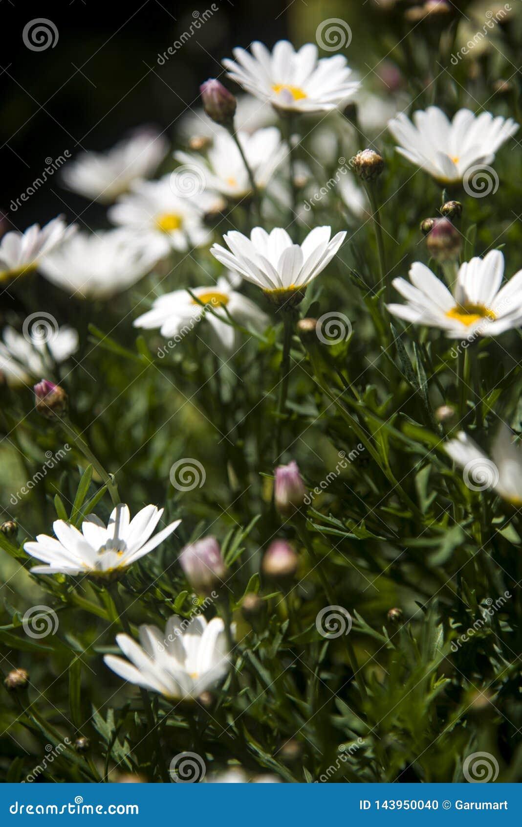 从休息引人注意的笔直雏菊