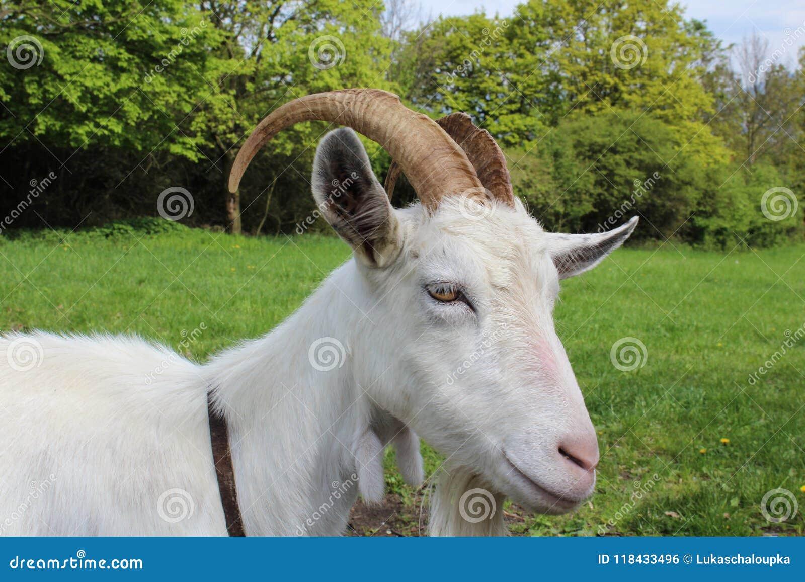 从关闭的白色山羊与后边绿草和树