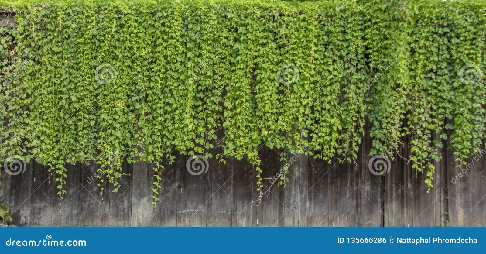 从木机盖的自然绿色常春藤藤植物墙壁