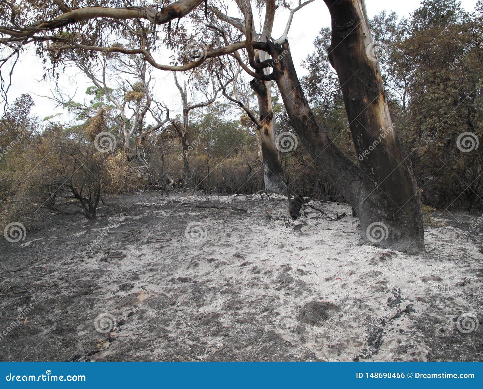 从林区大火的白灰围拢的玉树