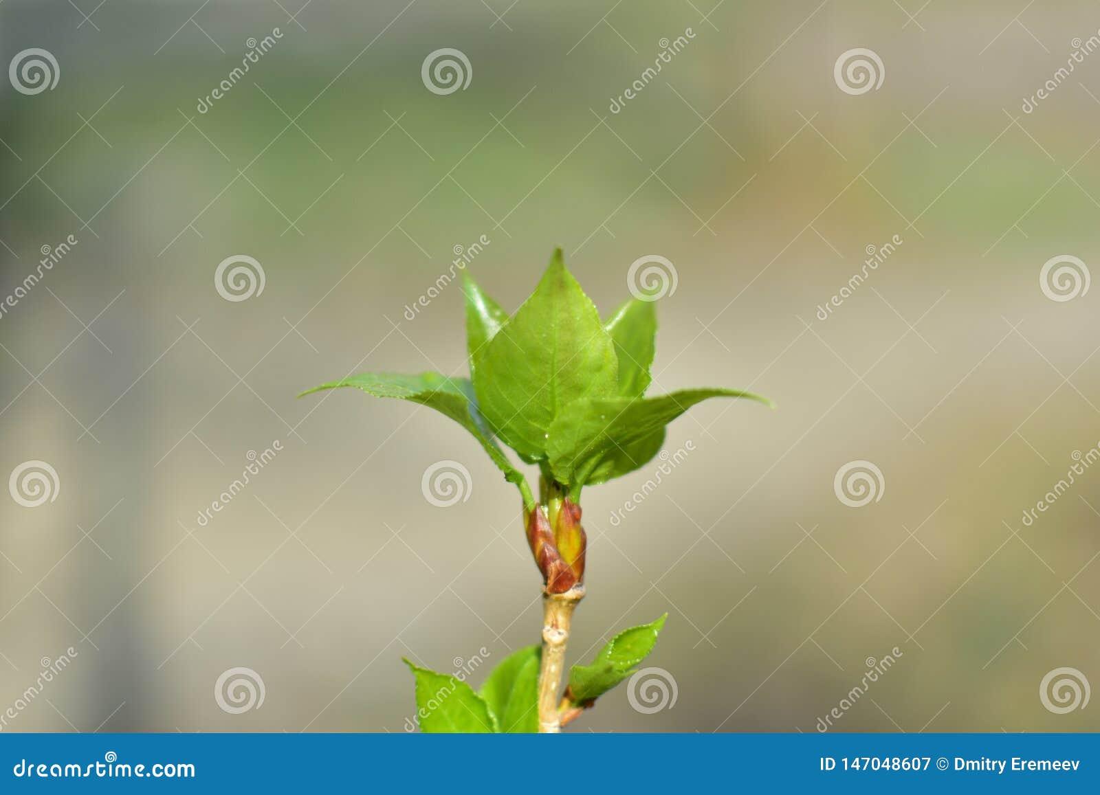 从树的芽的春天新鲜的年轻开花的绿色分支叶子
