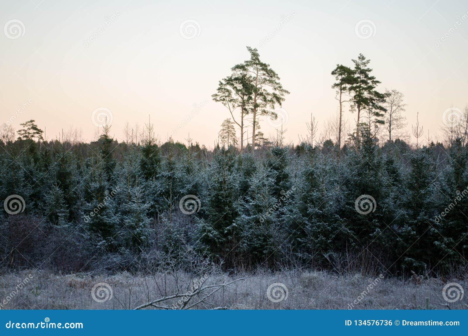 从森林视图的冬天日落,在领域 Otanki,拉脱维亚