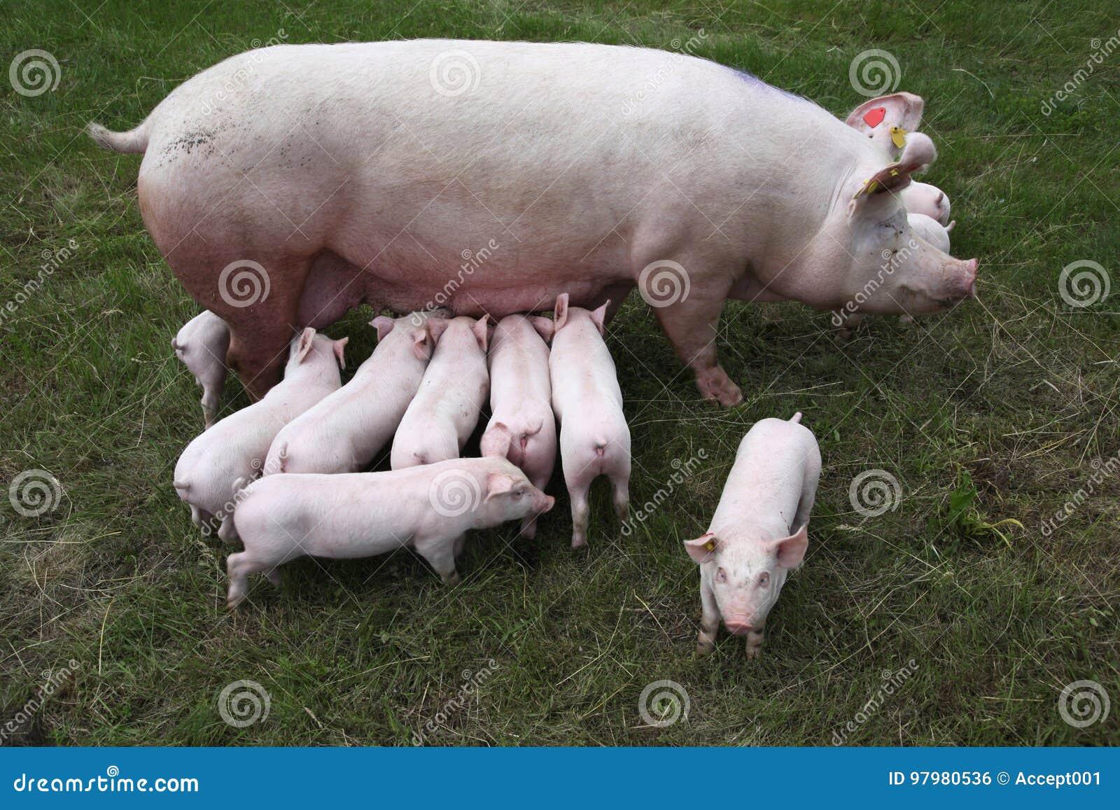 从母猪和她新出生的小猪上的照片. 茴香, 商业.图片