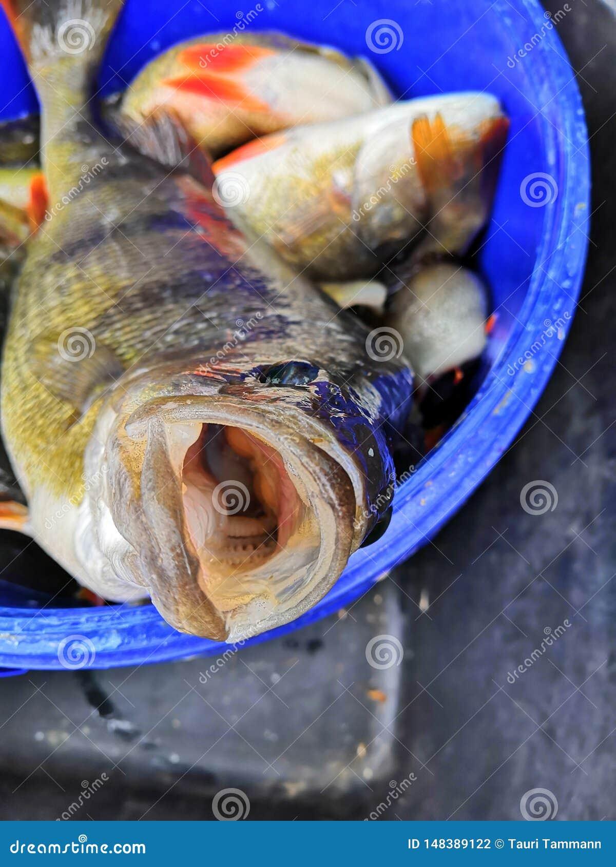 从海抓的鲜鱼Läänemeri