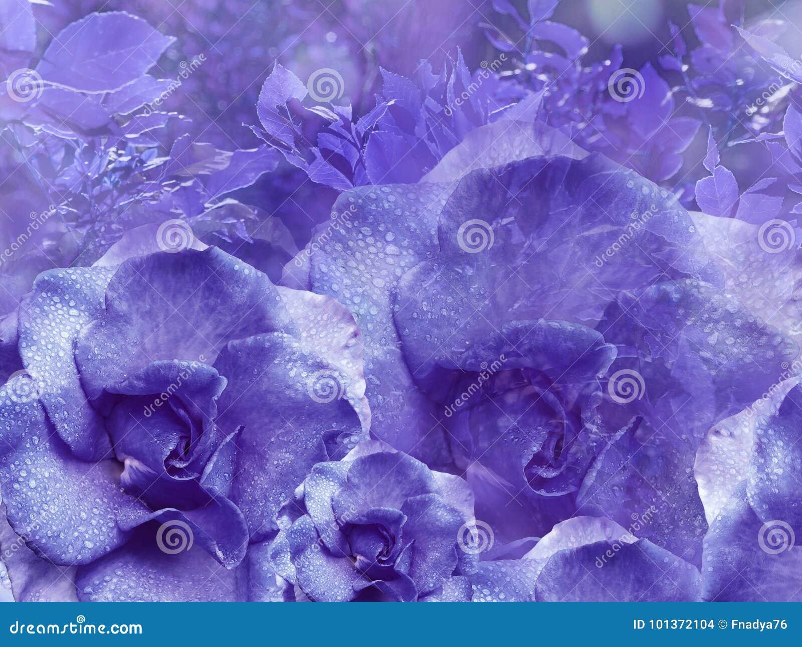 从玫瑰的花卉紫色背景 背景构成旋花植物空白花的郁金香 与水滴的花在瓣 特写镜头