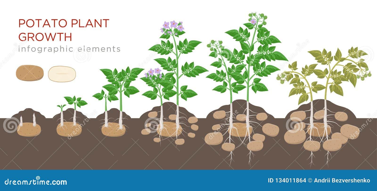 从种子的土豆植物增长的过程到在白色背景隔绝的植物的成熟菜 土豆成长阶段