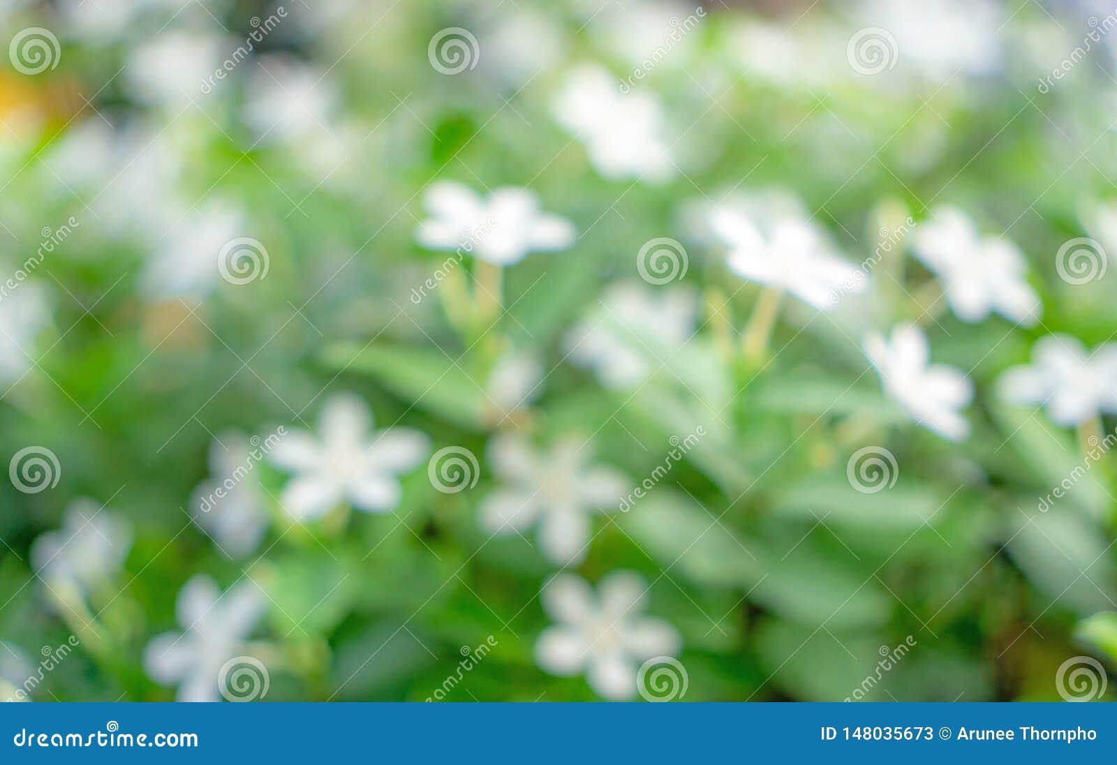 从绿叶叶子自然,开花在绿色叶子被弄脏的背景的新鲜的软的白花bokeh照片的抽象图象