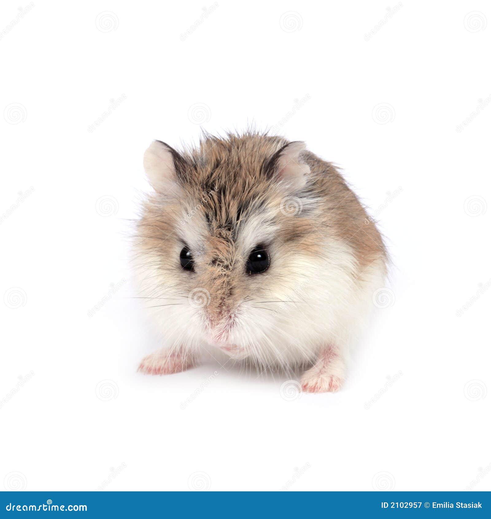 仓鼠roborovski