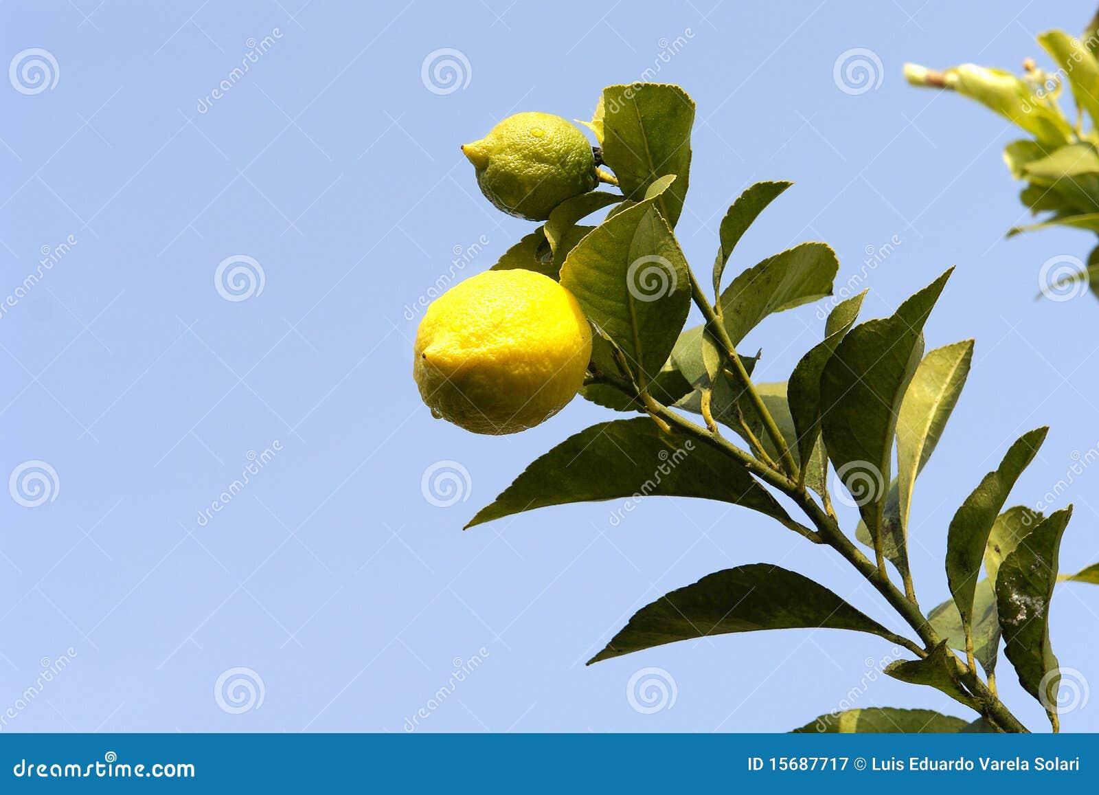他的柠檬树