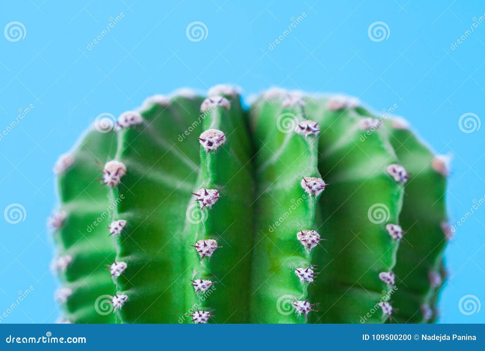 仙人掌和脊椎宏观照片在蓝色背景 关闭