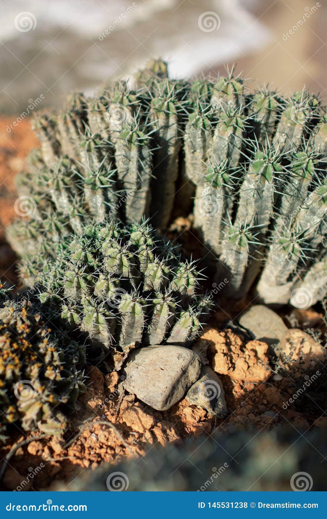 仙人掌在沙漠在摩洛哥