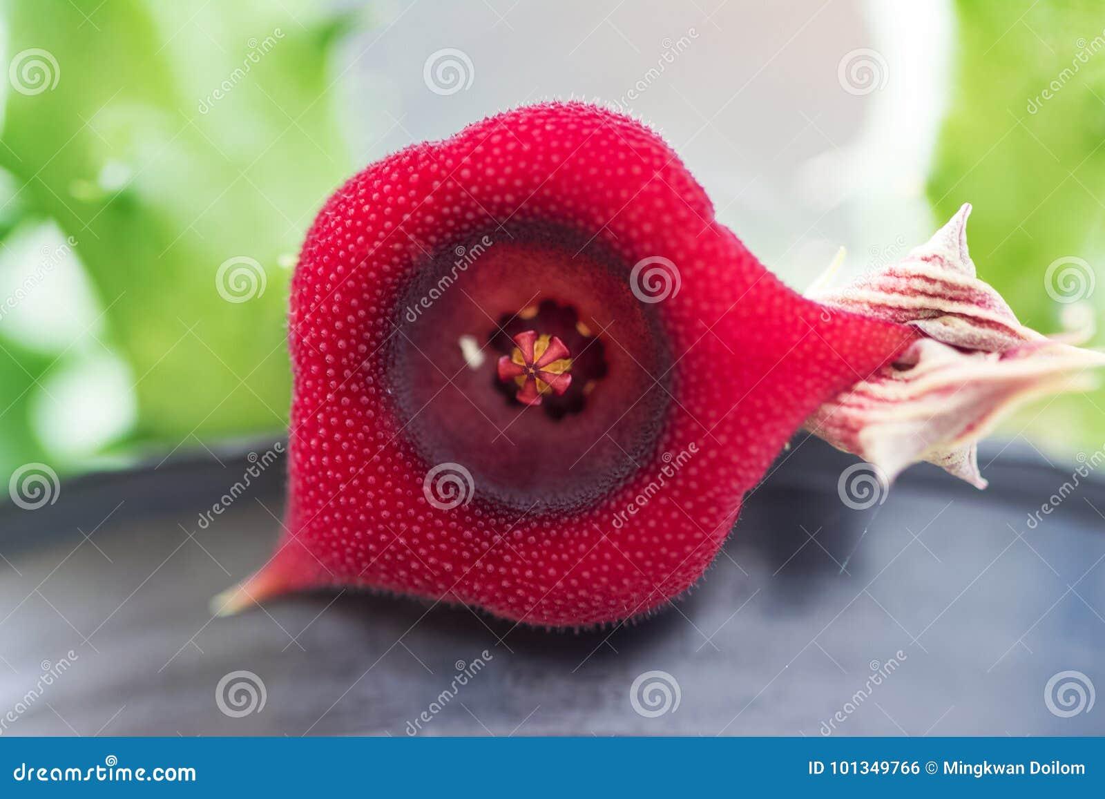 仙人掌红色花