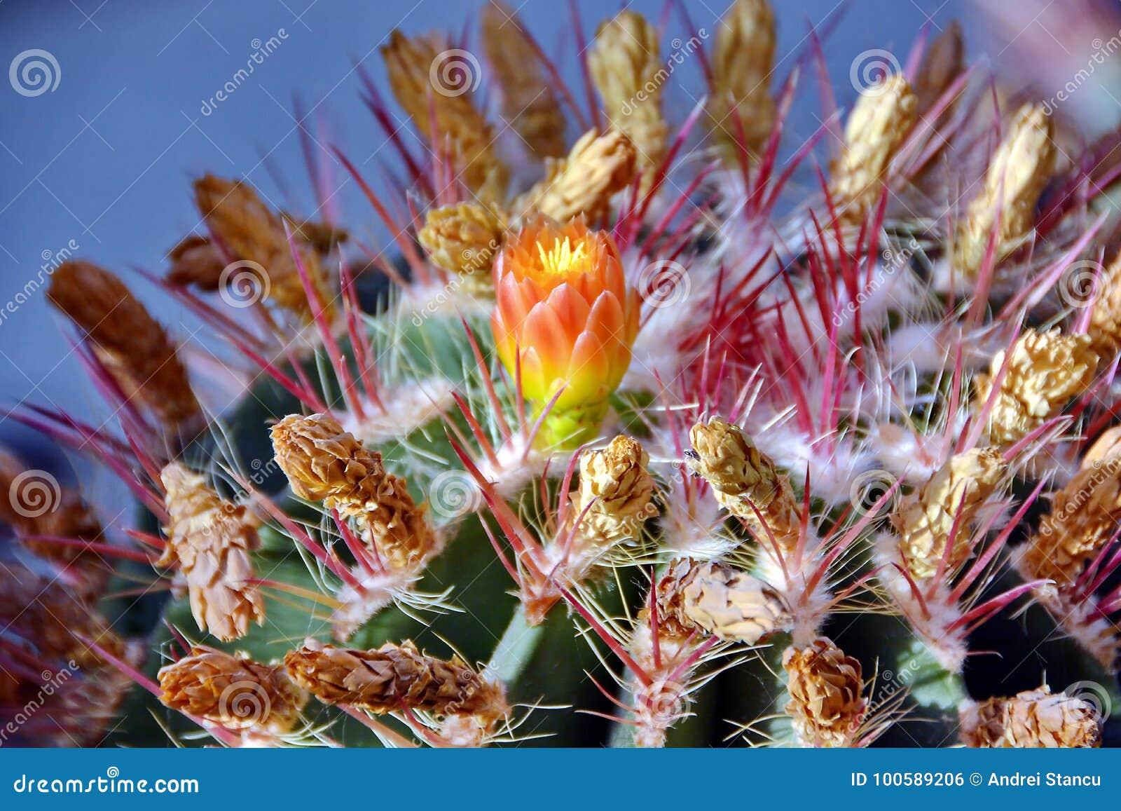 仙人掌花开花