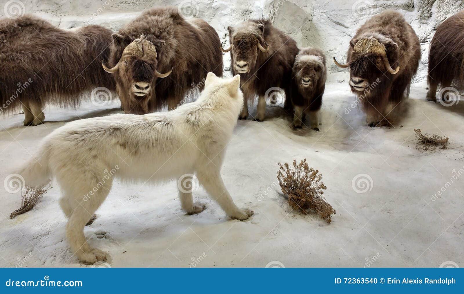 以在一个北极场面的西洋镜野生生物为特色