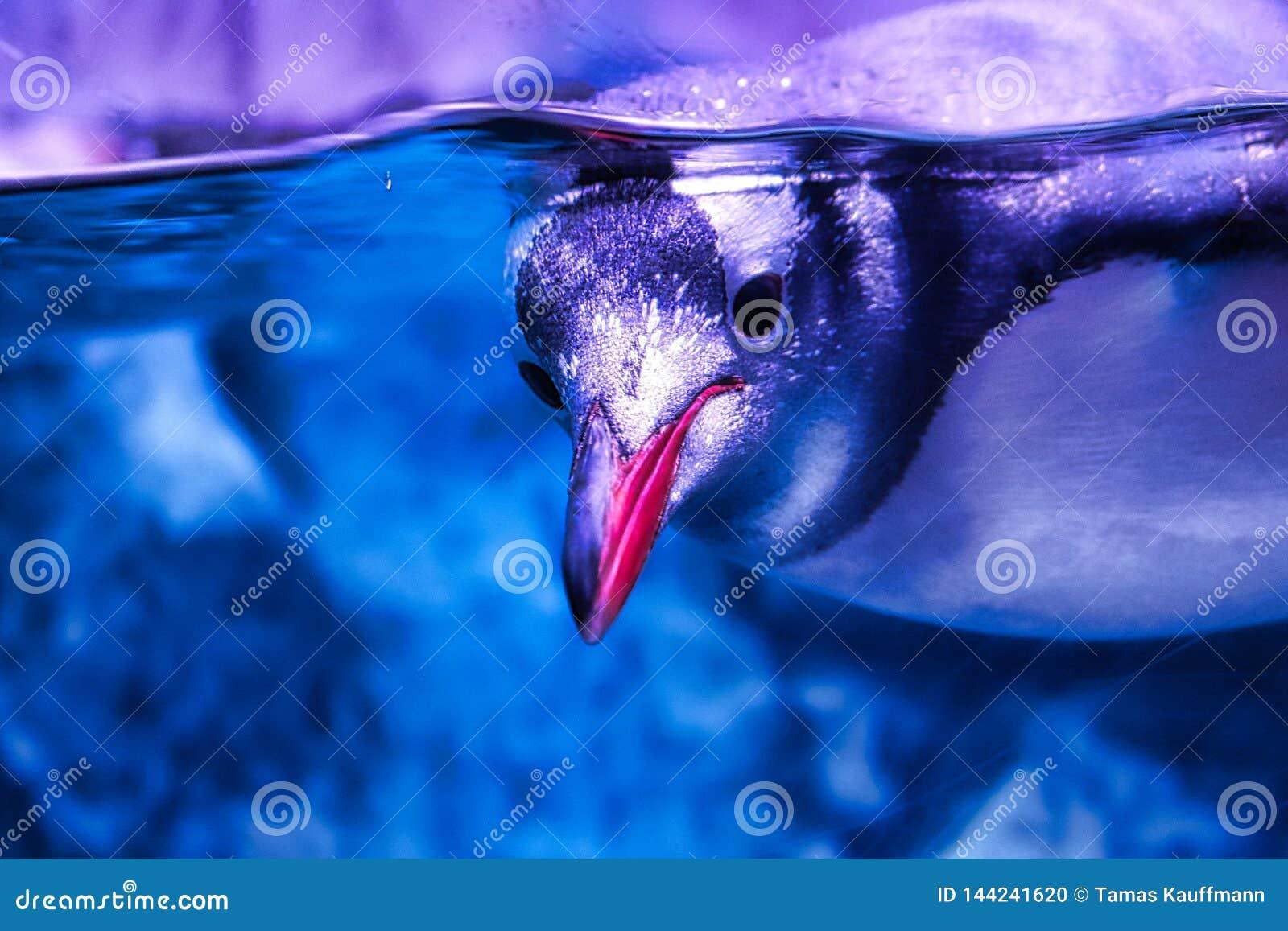 企鹅从海洋生活在曼谷