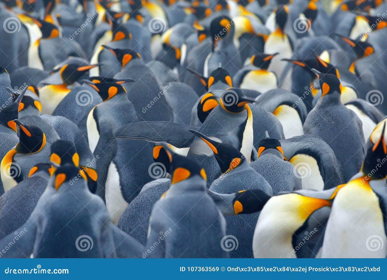 企鹅国王殖民地 许多鸟一起,在福克兰群岛 从自然的野生生物场面 动物行为在南极洲 企鹅